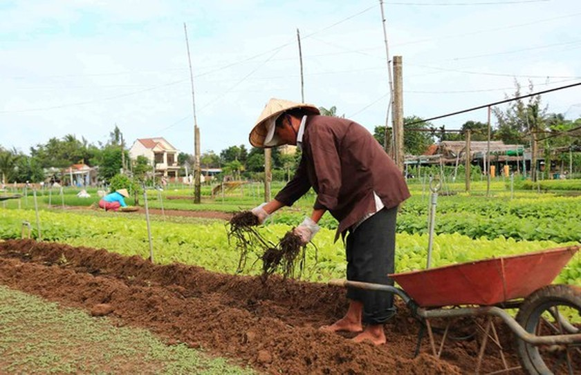 Hoi An's Tra Que Vegetable Village welcomes first New Year visitors ảnh 4