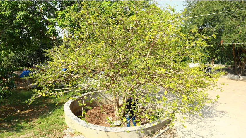 Giant ancient yellow apricot tree blooming on Tet ảnh 1