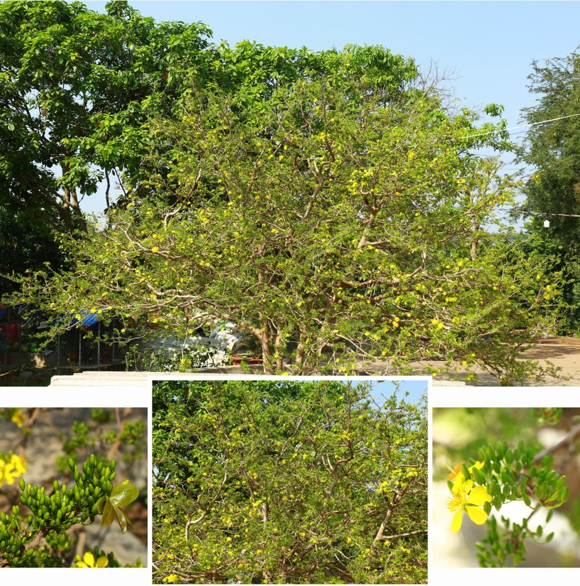 Giant ancient yellow apricot tree blooming on Tet ảnh 3