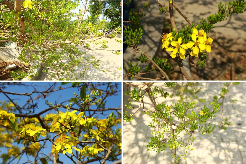 Giant ancient yellow apricot tree blooming on Tet ảnh 4