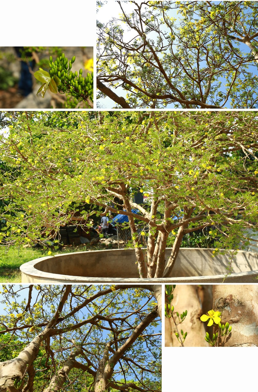Giant ancient yellow apricot tree blooming on Tet ảnh 5