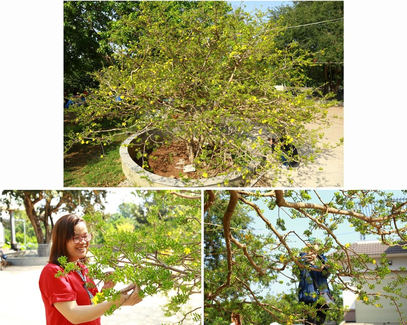 Giant ancient yellow apricot tree blooming on Tet ảnh 6