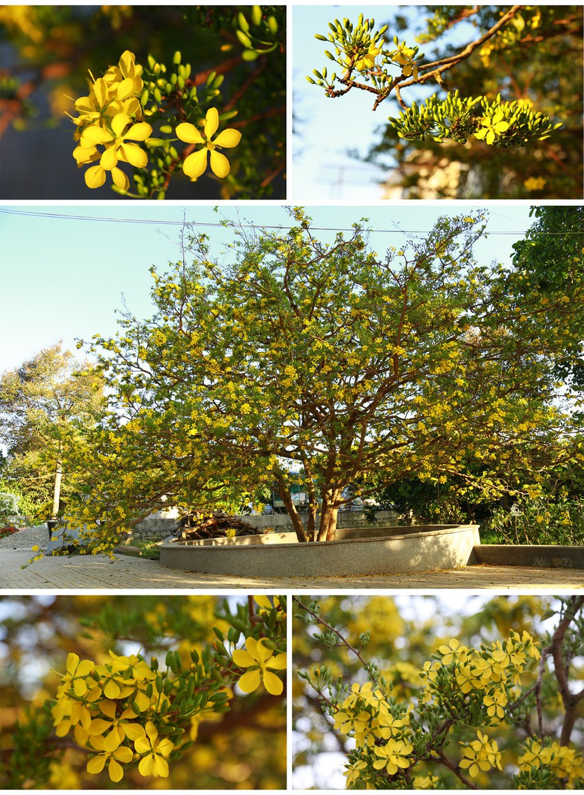 Giant ancient yellow apricot tree blooming on Tet ảnh 7