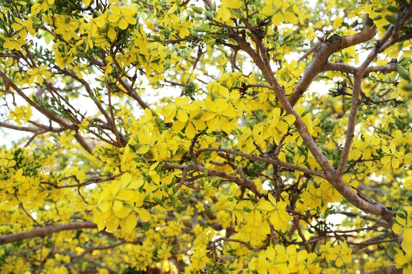 Giant ancient yellow apricot tree blooming on Tet ảnh 8
