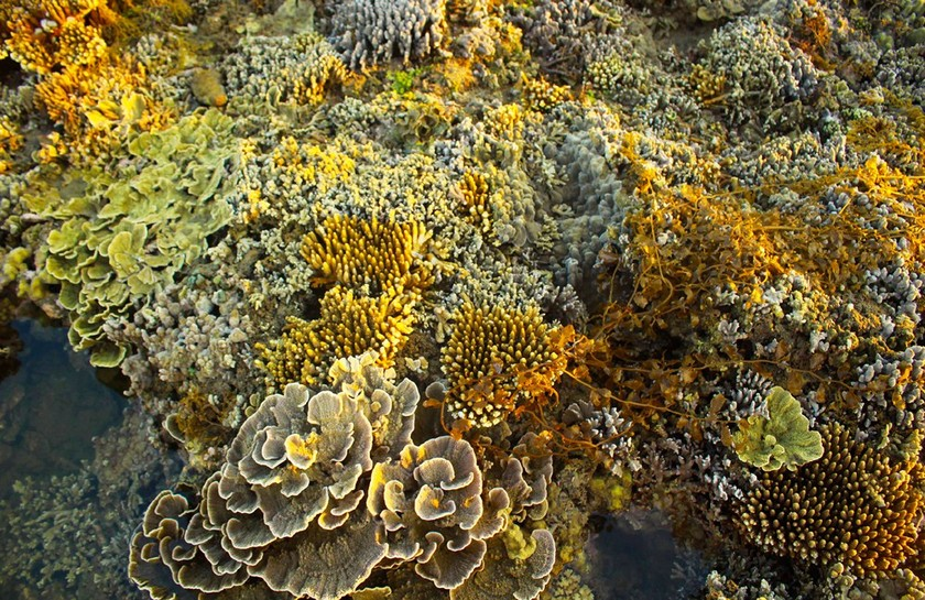 Quang Ngai provides tourists amazing view of nearshore spectacular coral reef ảnh 10