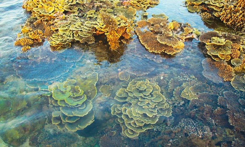 Quang Ngai provides tourists amazing view of nearshore spectacular coral reef ảnh 3