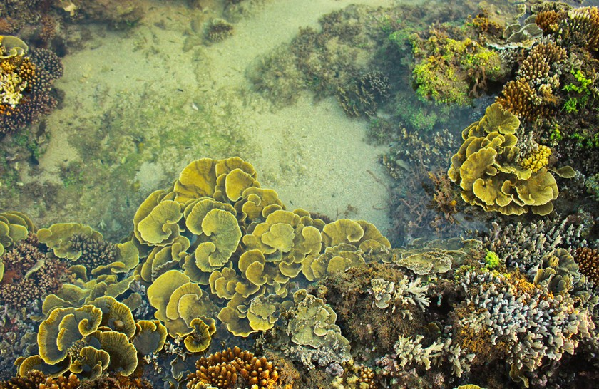 Quang Ngai provides tourists amazing view of nearshore spectacular coral reef ảnh 6