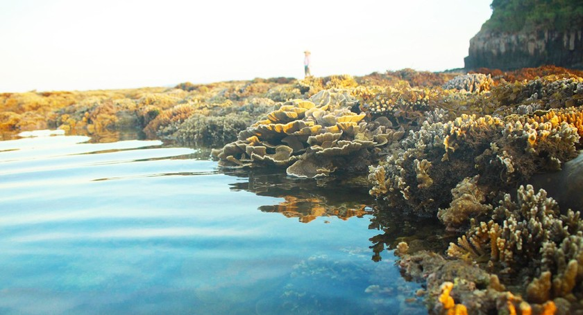 Quang Ngai provides tourists amazing view of nearshore spectacular coral reef ảnh 7