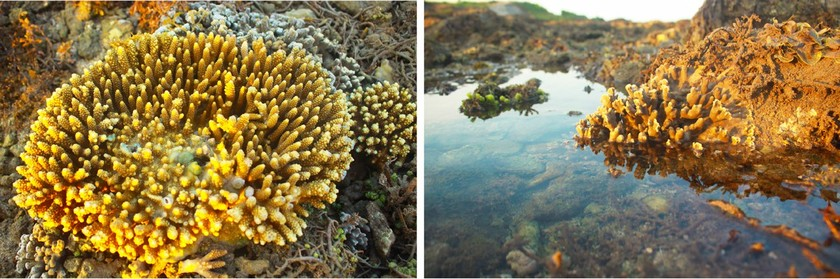 Quang Ngai provides tourists amazing view of nearshore spectacular coral reef ảnh 8