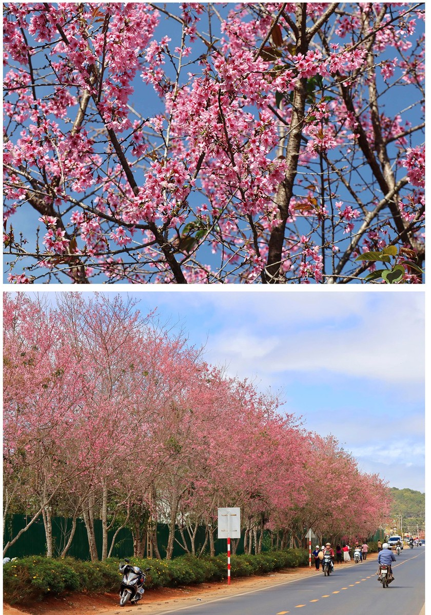 Da Lat turns a ravishing shade of pink with cherry blossoms in full bloom ảnh 10