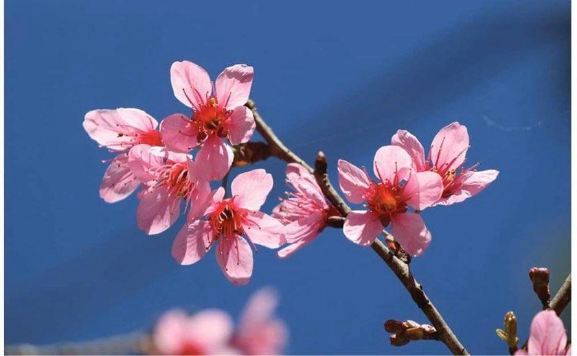 Da Lat turns a ravishing shade of pink with cherry blossoms in full bloom ảnh 1