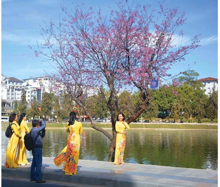 Da Lat turns a ravishing shade of pink with cherry blossoms in full bloom ảnh 2