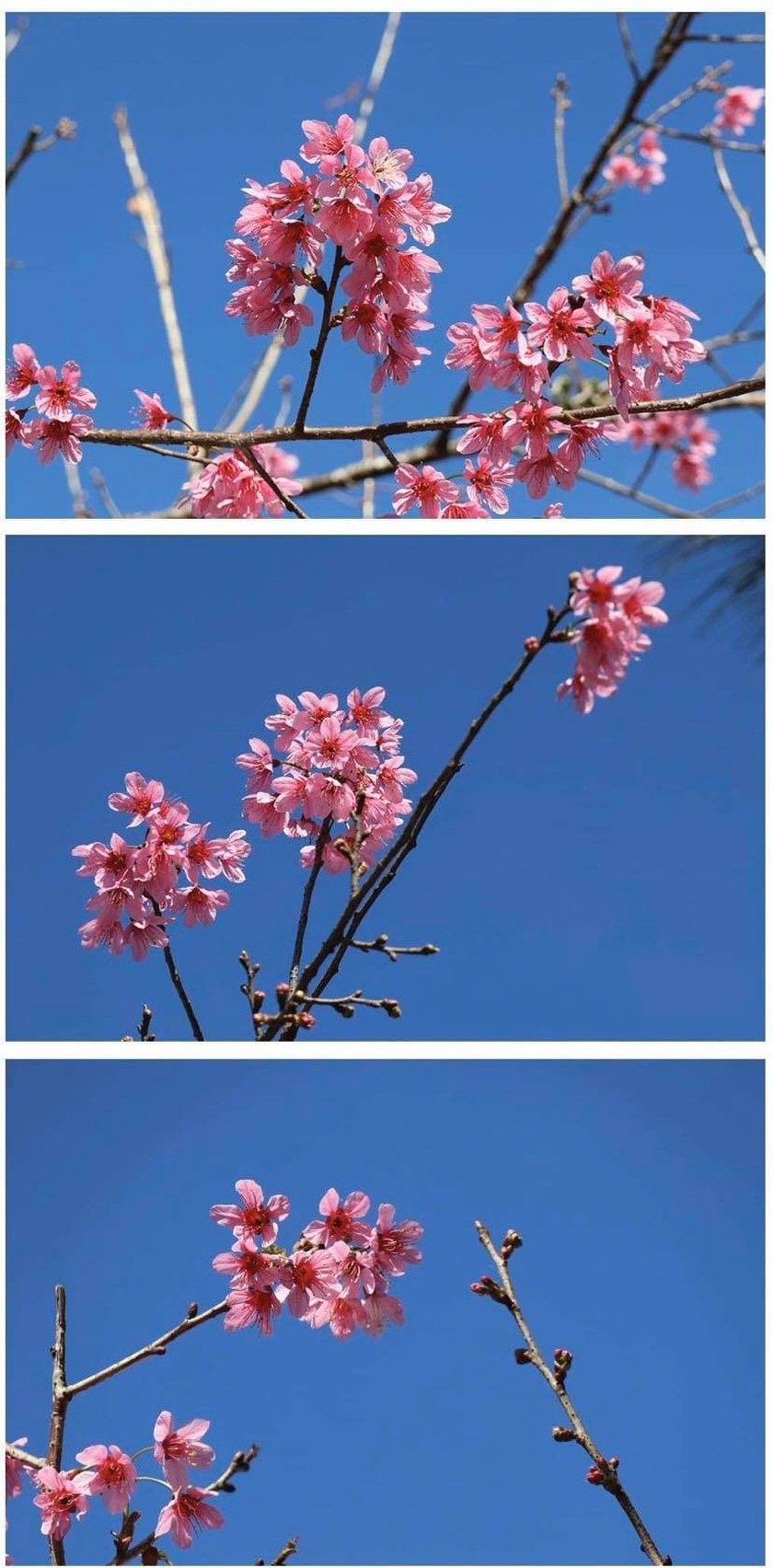 Da Lat turns a ravishing shade of pink with cherry blossoms in full bloom ảnh 3