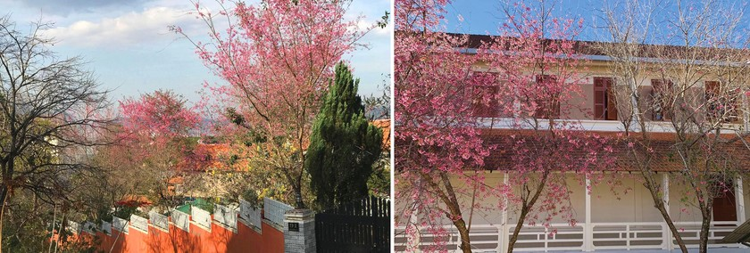 Da Lat turns a ravishing shade of pink with cherry blossoms in full bloom ảnh 4