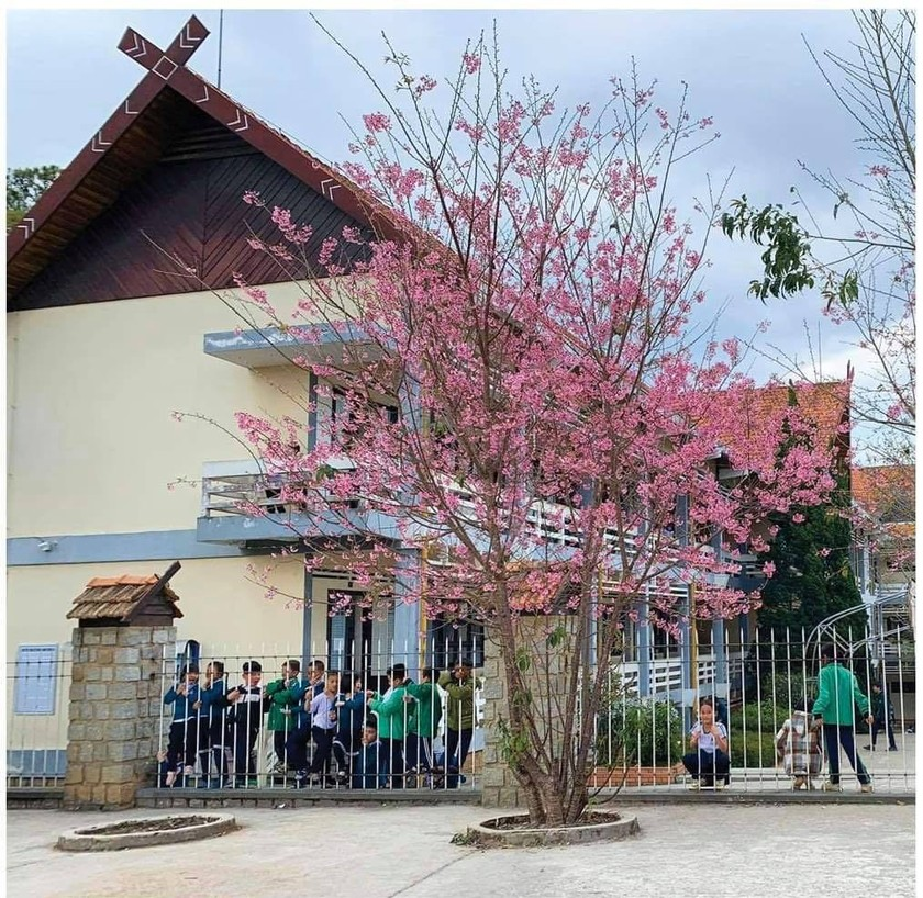 Da Lat turns a ravishing shade of pink with cherry blossoms in full bloom ảnh 5