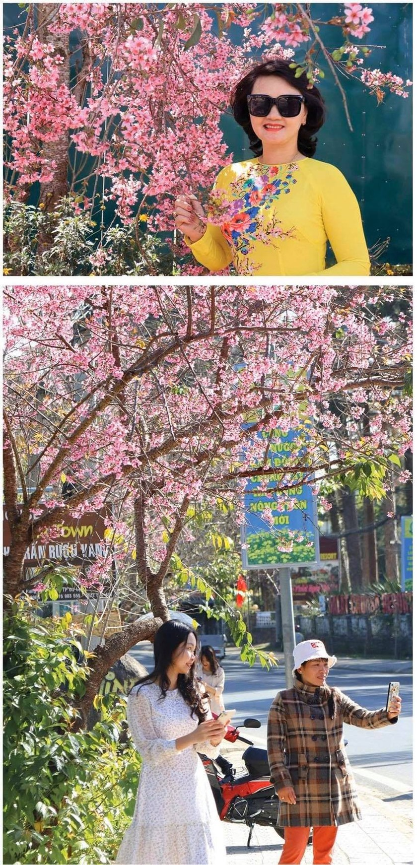 Da Lat turns a ravishing shade of pink with cherry blossoms in full bloom ảnh 6