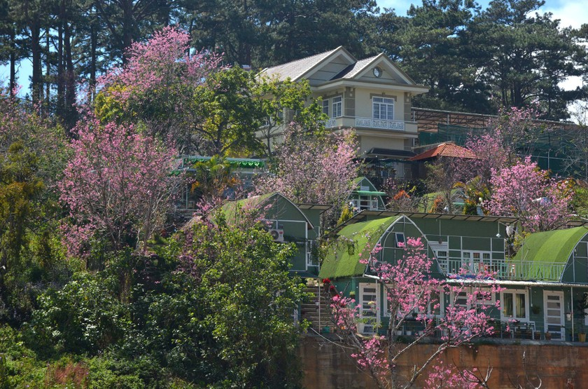 Da Lat turns a ravishing shade of pink with cherry blossoms in full bloom ảnh 9