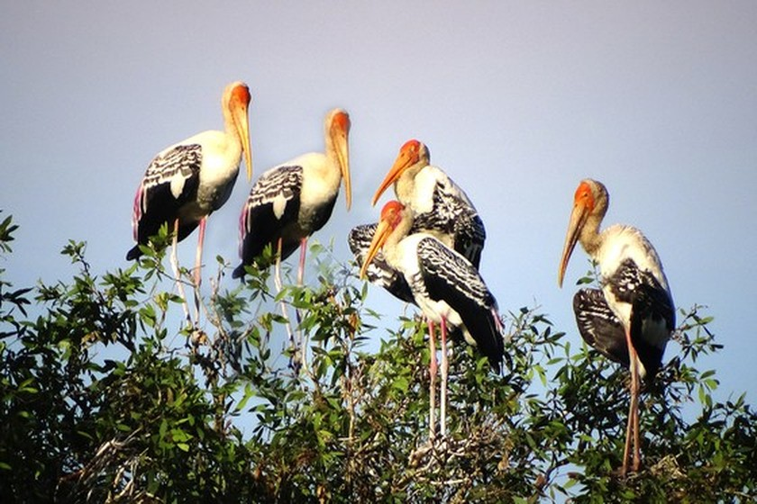 Red-headed cranes migrate to Mekong Delta ảnh 2
