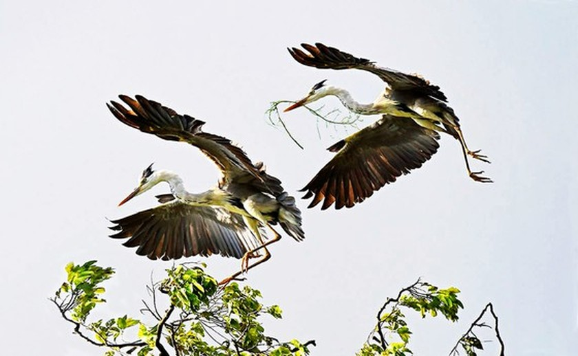 Red-headed cranes migrate to Mekong Delta ảnh 4