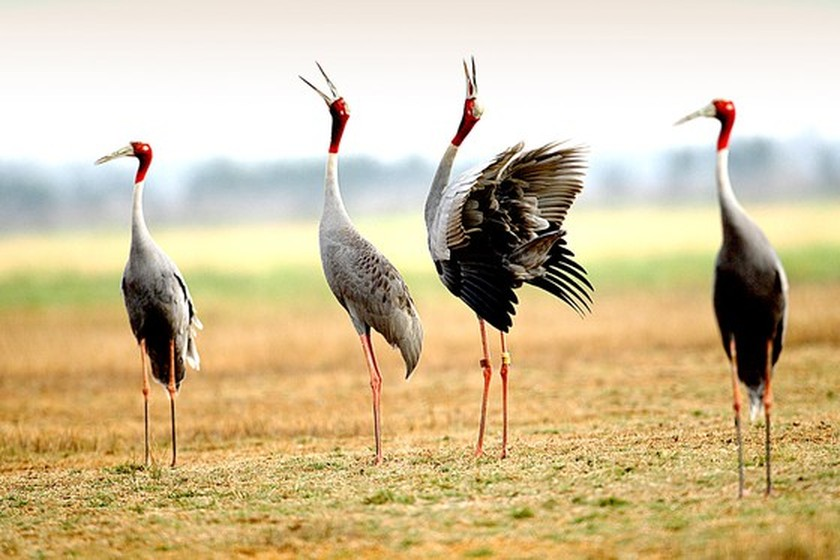Red-headed cranes migrate to Mekong Delta ảnh 5