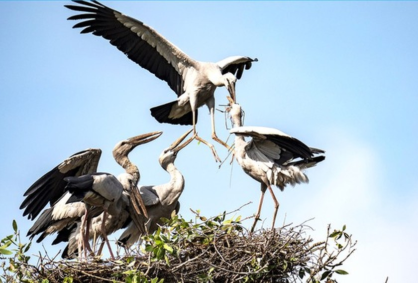 Red-headed cranes migrate to Mekong Delta ảnh 7
