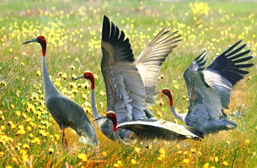Red-headed cranes migrate to Mekong Delta ảnh 1