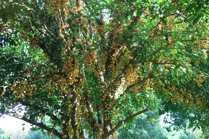 Beauty of burmese grape trees full of fruits in central mountainous district ảnh 11