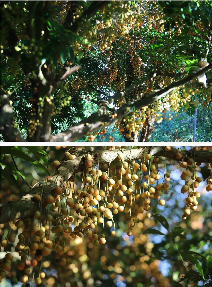 Beauty of burmese grape trees full of fruits in central mountainous district ảnh 13