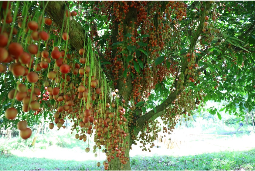Beauty of burmese grape trees full of fruits in central mountainous district ảnh 14