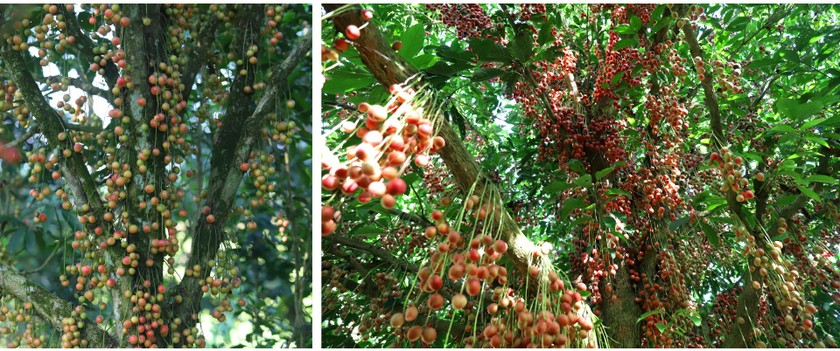 Beauty of burmese grape trees full of fruits in central mountainous district ảnh 15