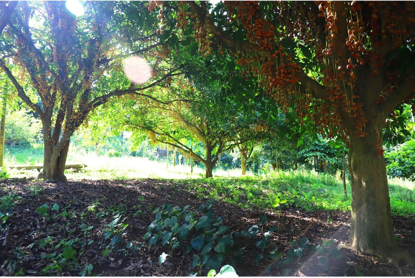 Beauty of burmese grape trees full of fruits in central mountainous district ảnh 2