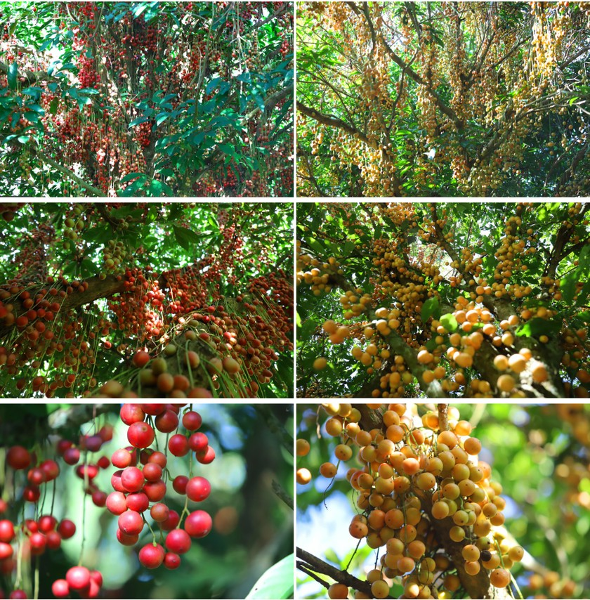 Beauty of burmese grape trees full of fruits in central mountainous district ảnh 3