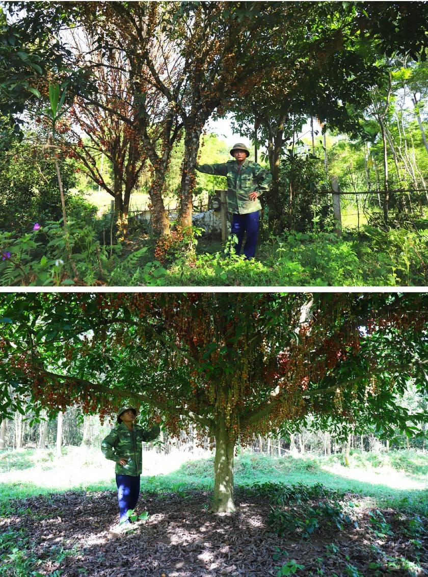 Beauty of burmese grape trees full of fruits in central mountainous district ảnh 4