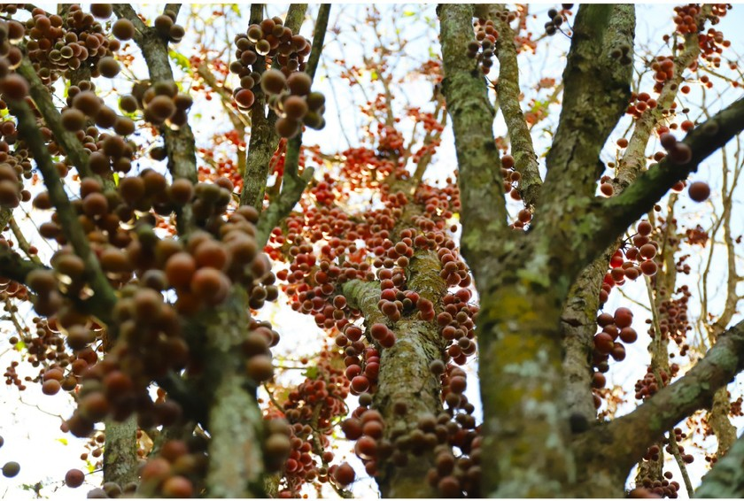 Beauty of burmese grape trees full of fruits in central mountainous district ảnh 5