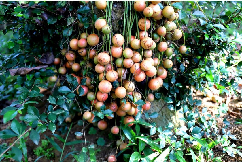Beauty of burmese grape trees full of fruits in central mountainous district ảnh 6