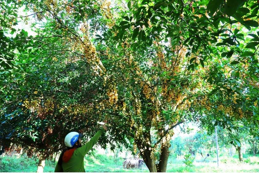 Beauty of burmese grape trees full of fruits in central mountainous district ảnh 7
