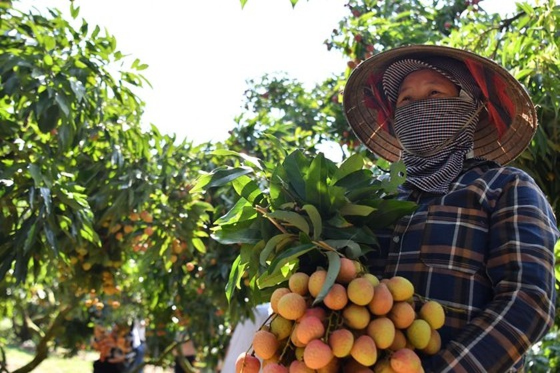 Vietnamese lychees head for EU markets ảnh 1