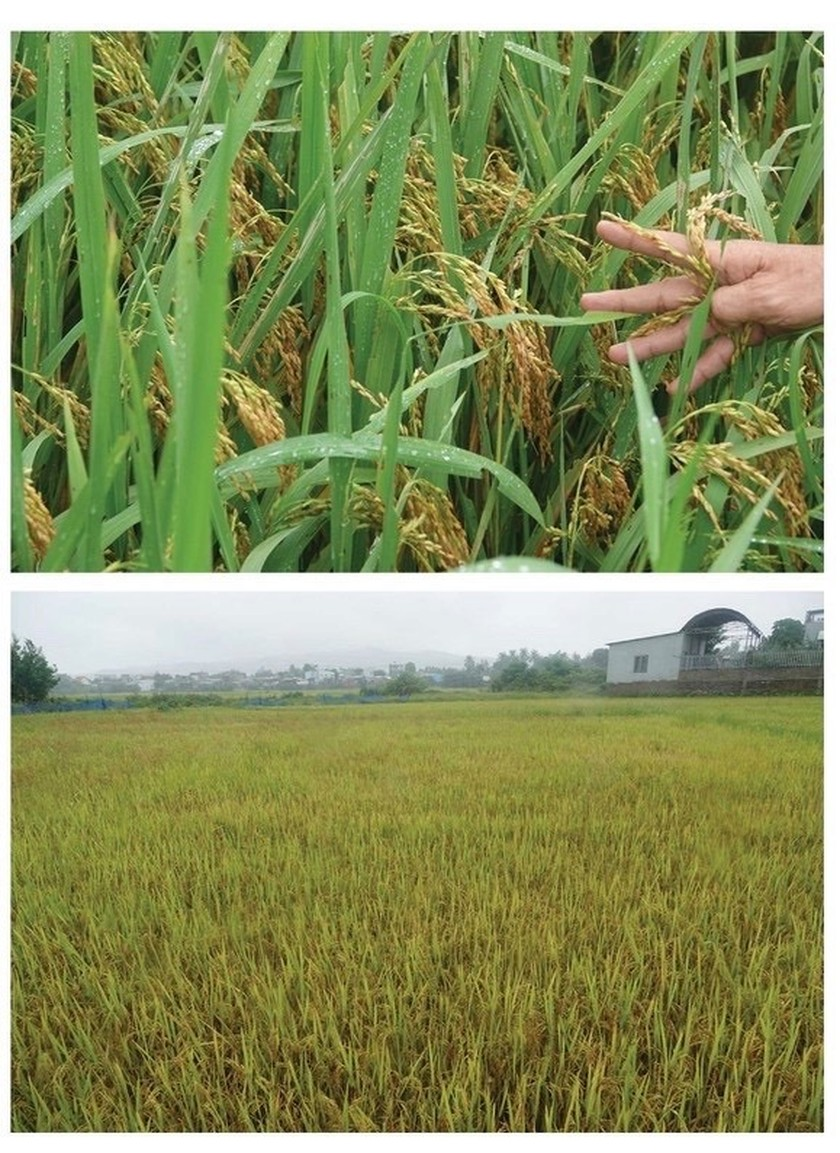 Central region's farmers flock to fields to save rice after storm ảnh 12