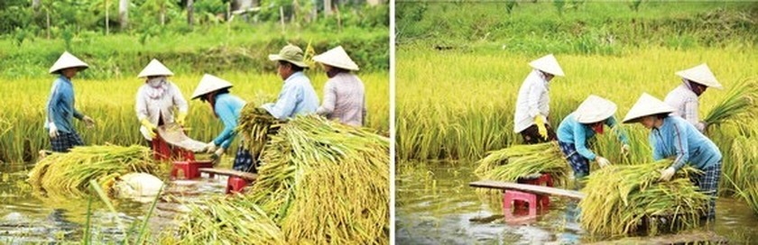 Central region's farmers flock to fields to save rice after storm ảnh 13