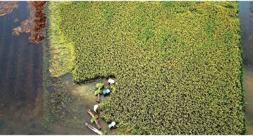 Central region's farmers flock to fields to save rice after storm ảnh 14