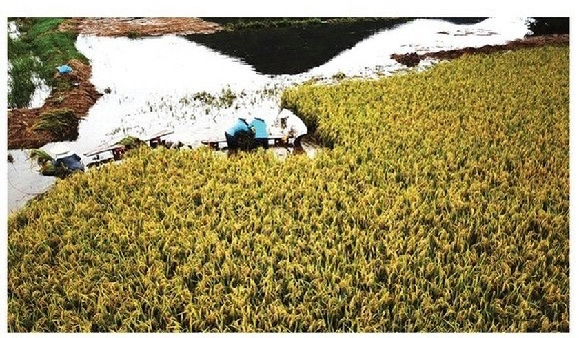 Central region's farmers flock to fields to save rice after storm ảnh 17
