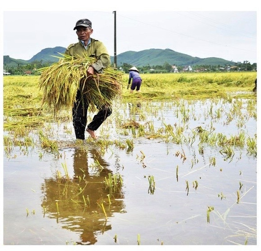 Central region's farmers flock to fields to save rice after storm ảnh 16