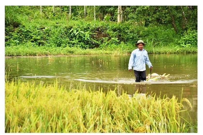 Central region's farmers flock to fields to save rice after storm ảnh 18