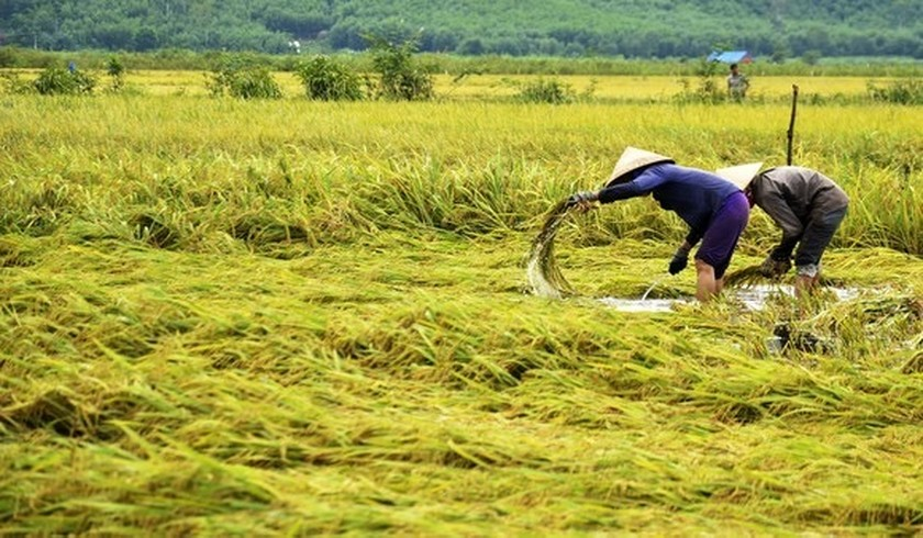 Central region's farmers flock to fields to save rice after storm ảnh 19