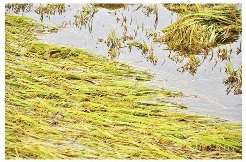 Central region's farmers flock to fields to save rice after storm ảnh 20