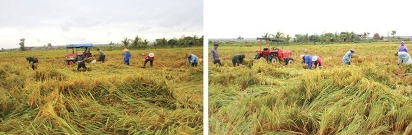 Central region's farmers flock to fields to save rice after storm ảnh 3