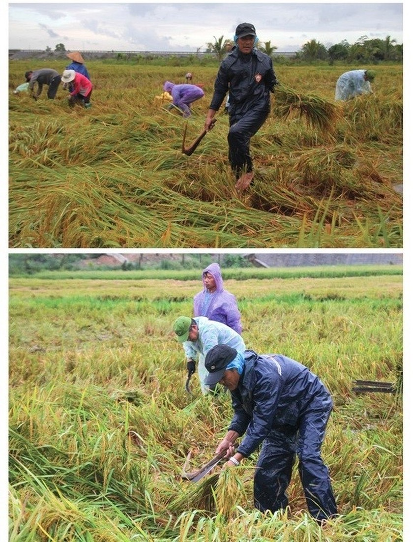 Central region's farmers flock to fields to save rice after storm ảnh 4