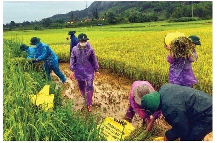 Central region's farmers flock to fields to save rice after storm ảnh 7
