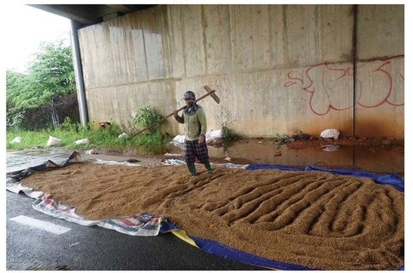 Central region's farmers flock to fields to save rice after storm ảnh 10